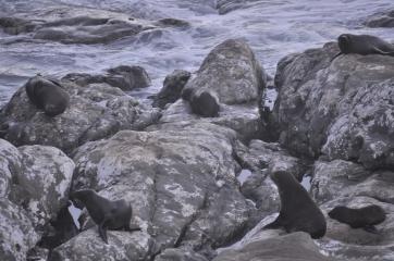 Sur la route - colonies d'otaries - Kaikoura